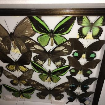 蝶標本,昆虫標本の買取り,査定について