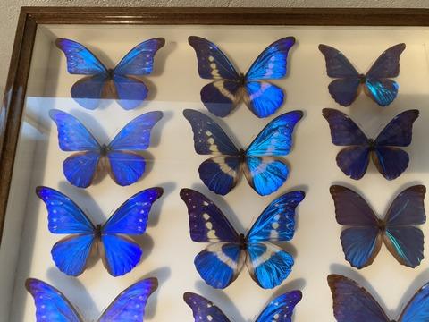 出張買取の池屋で買い取った蝶の標本の画像
